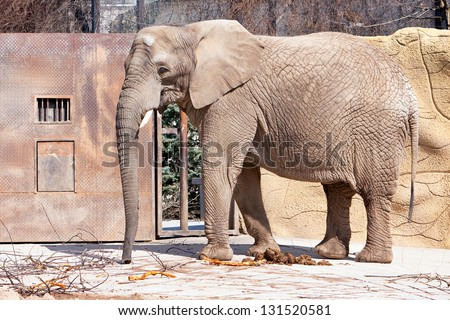 elephant in ZOO with dry branches - stock photo
