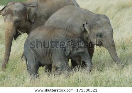 Elephant (Indian ) - stock photo