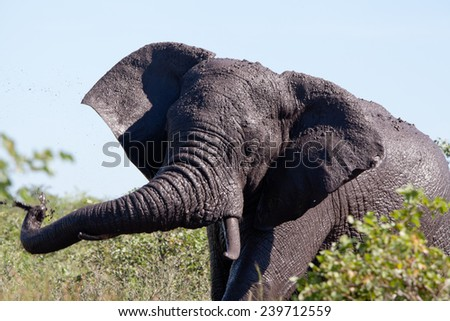 Elephant is cooling skin with mud. South Africa, Kruger National Park. - stock photo