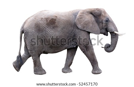 Elephant is running - stock photo
