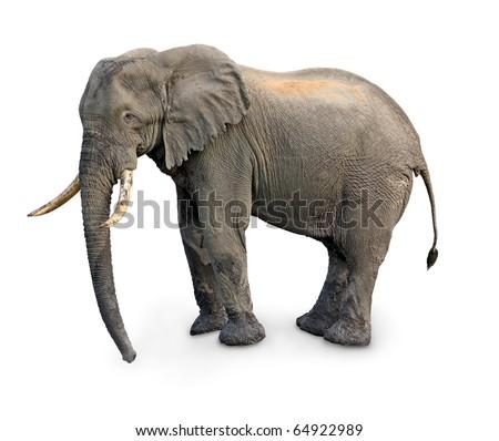 elephant isolated - stock photo