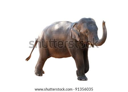 elephant  - isolated - stock photo