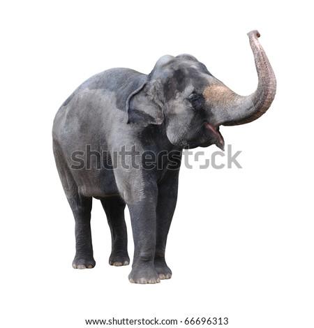 Elephant isolated against white background. - stock photo