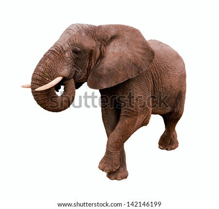 Elephant Isolated on a white background