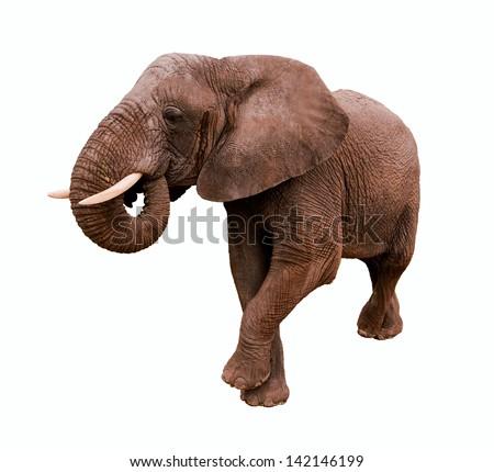 Elephant Isolated on a white background - stock photo