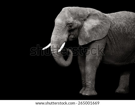 Elephant isolated on black background - stock photo