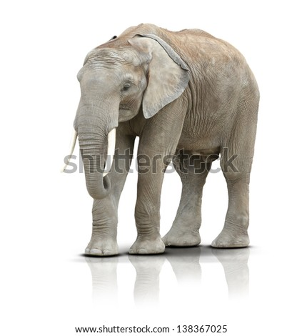 Elephant isolated on white.