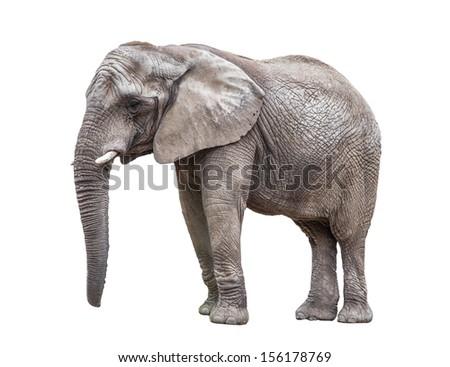 Elephant isolated on white - stock photo