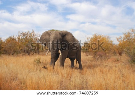 Elephant Kruger Park South Africa - stock photo