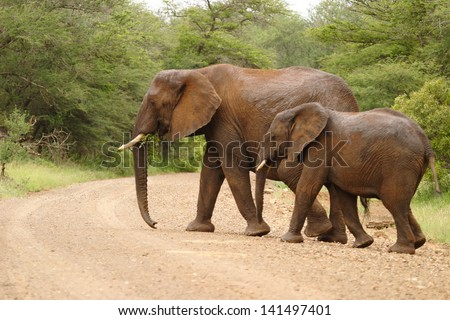 elephant largest mammal in the world and the African bush savannah south africa kruger - stock photo