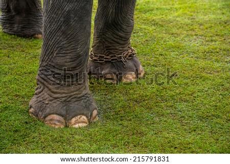 elephant leg - stock photo