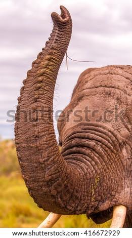 Elephant lifting its trunk - stock photo