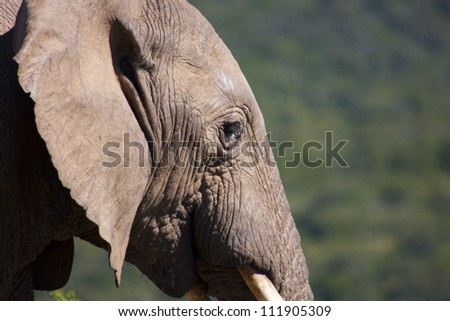 Elephant looking