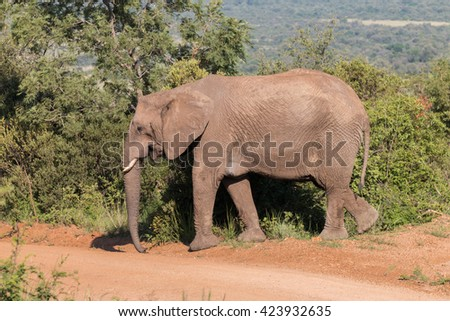 Elephant (Loxdonta) peacefully walking across a dusty gravel road in Pilanesberg, South Africa