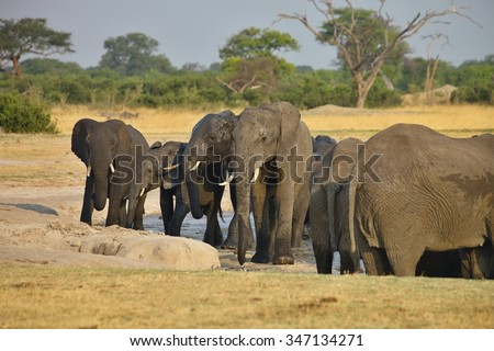 elephant, Loxodonta africana, at the waterhole Nyamandlovo in Hwange National Park, Zimbabwe