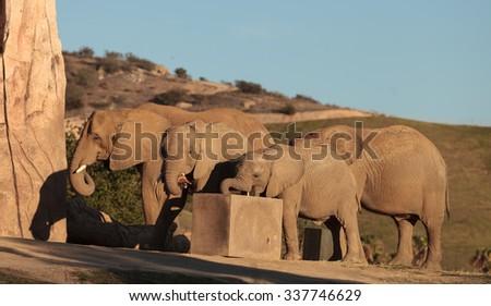 Elephant, Loxodonta Africana, behavior indicates a keen intelligence and awareness among these animals. - stock photo