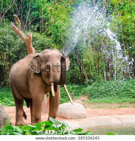Elephant make water spray - shower - stock photo