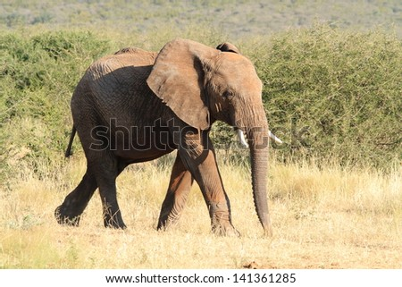 elephant mammal among the largest plains africa kruger national park south africa - stock photo