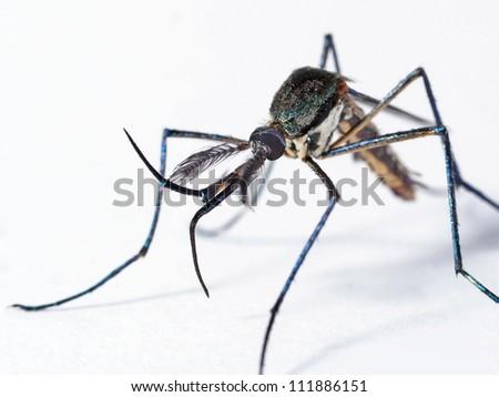 Elephant mosquito, isolated on white - stock photo