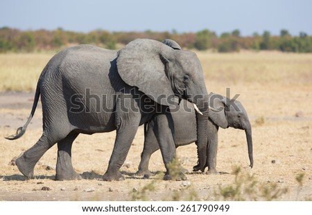 Elephant mother and calf walking while bonding relationship - stock photo