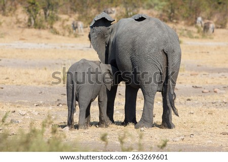 Elephant mother and calf walking while bonding their relationship - stock photo