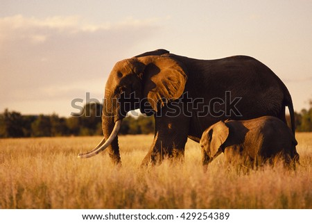 Elephant mother and her calf - stock photo