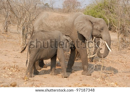 Elephant mother with nursing calf at Chobe national park in Botswana, Africa - stock photo
