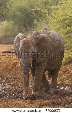 Elephant mud bathing