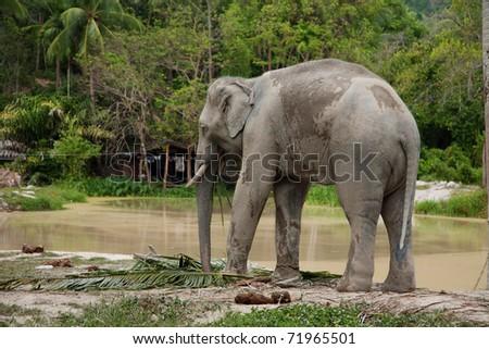 Elephant near lake in thailand - stock photo