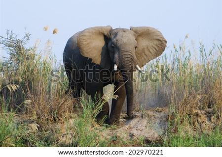 Elephant next to the Zambezi River, Zambia, Africa - stock photo