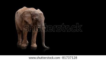 elephant on a reflective surface on black background - stock photo