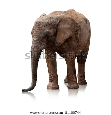 elephant on a reflective surface on white background - stock photo