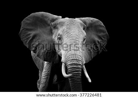 Elephant on dark background. Black and white image - stock photo