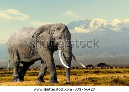 Elephant on Kilimajaro mount background in National park of Kenya, Africa - stock photo