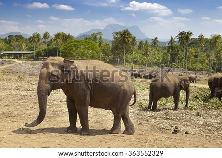 Elephant Orphanage, Pinnawela, Sri Lanka