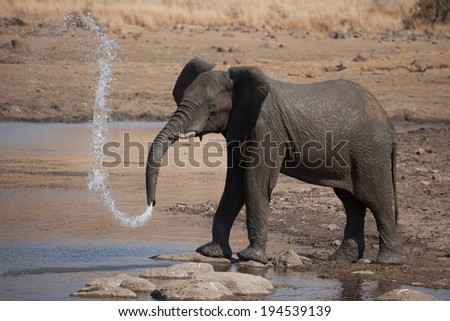 Elephant playing with water - stock photo