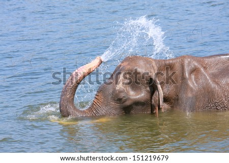 Elephant plays water and sprays on the air - stock photo