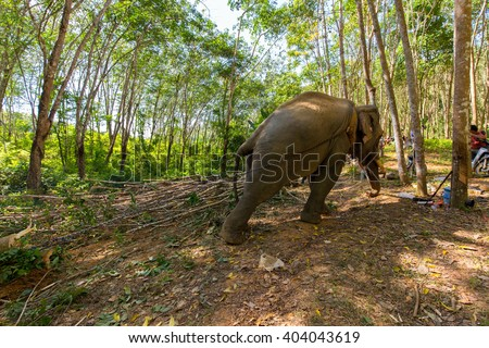 Elephant pulling a tree with chains, helping the workers to harvesting the rubber tree forest in Thailand - stock photo