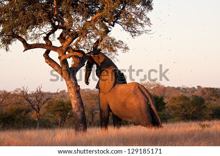 Elephant push marula tree high leaves falling to break - stock photo