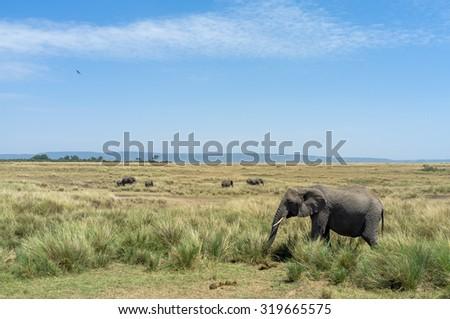 Elephant roaming around in Kenya - stock photo