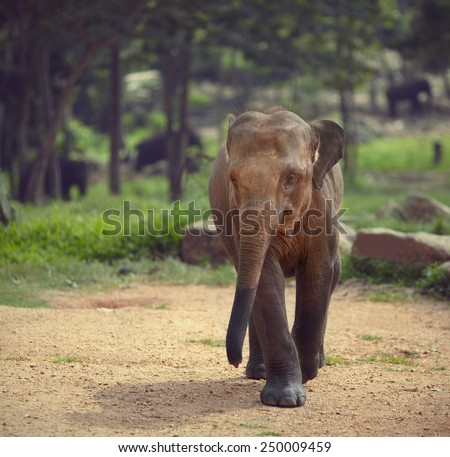 Elephant runs towards the camera - stock photo