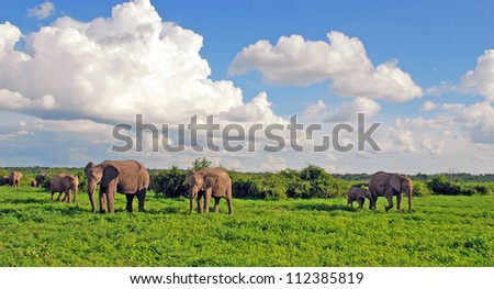 Elephant's family in african savannah. Panoramic view with scenic clouds and green grass in national park Chobe(Botswana) - stock photo