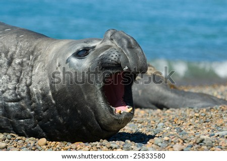 Elephant seal in the coast of Peninsula Valdes, Patagonia, Argentina.