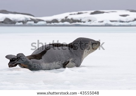 elephant seal resting on ice - stock photo
