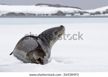 elephant seal resting on ice and looking up - stock photo
