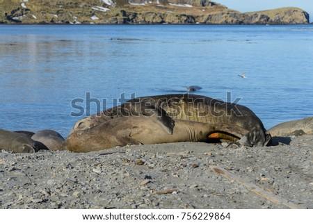 Секс у тюленей