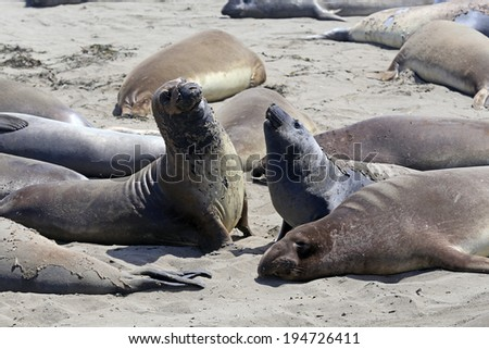 elephant seals in San Simeon #3
