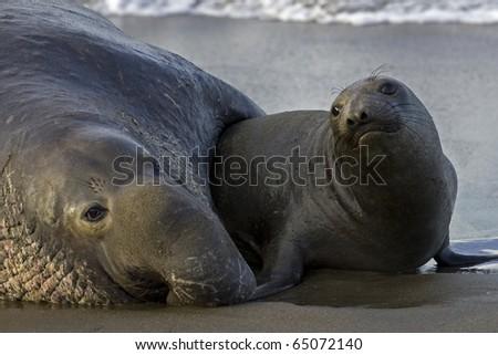 Elephant Seals mate on San Simeon Beach - stock photo