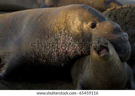 Elephant Seals mating on Piedras Blancas Beach in San Simeon - stock photo