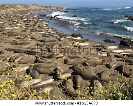Elephant seals on the beach, Big Sur, California.